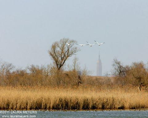 Snow Geese in flight with Empire State Building