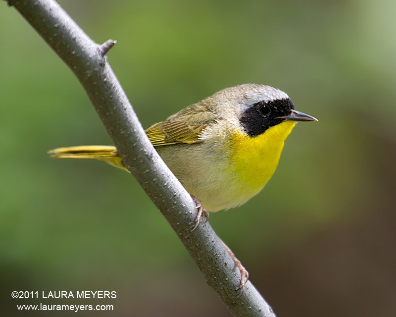 Yellow Throat Warbler 12