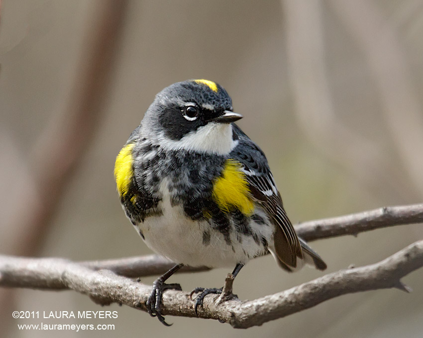 The picture of this Yellow-rumped Warbler was taken at the New York