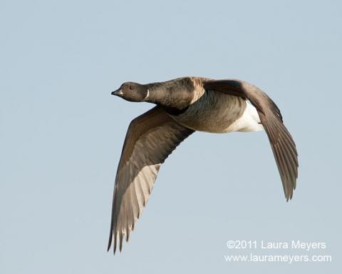 Brant in flight
