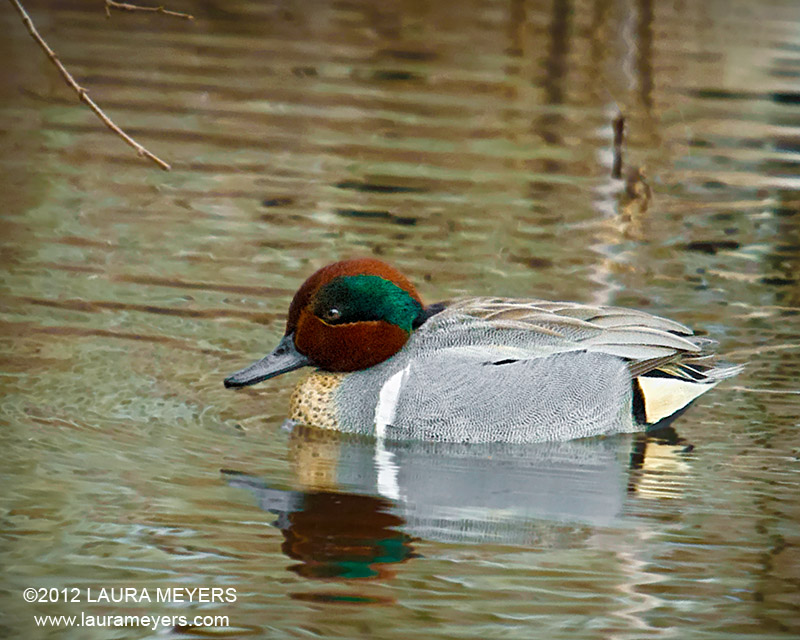 The picture of this green winged teal was taken at the jamaica bay