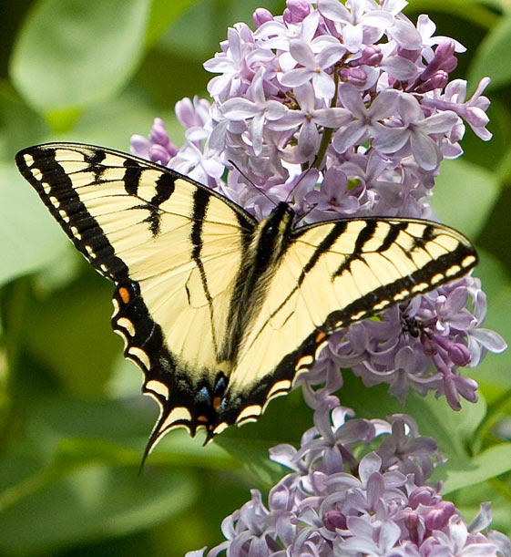 Butterfly_Eastern Tiger Swallowtail