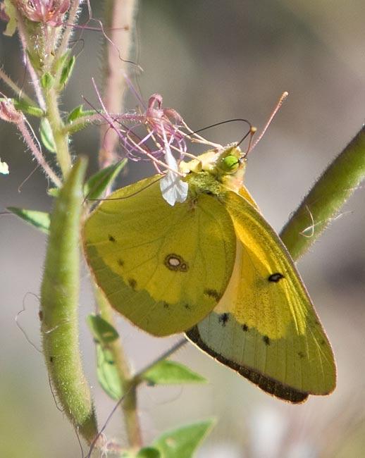 Butterfly_Organge Sulphur