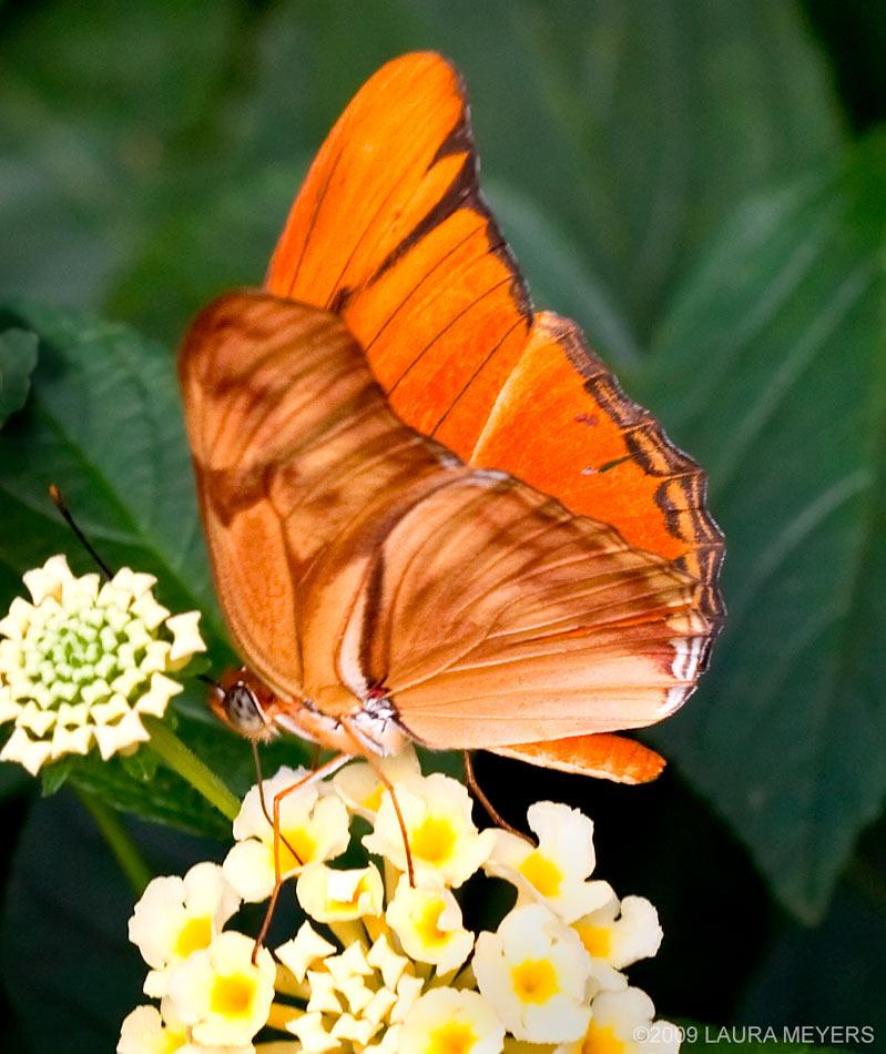 Butterfly_Julia_Heliconian