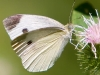 Butterfly_Cabbage White