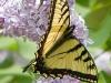 Butterfly_Eastern Tiger Swallowtail