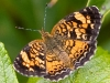 Butterfly_Pearl Crescent