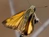 Butterfly_Skpper