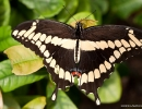 Butterfly_Giant_Swallowtail