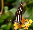 Butterfly_Zebra_Heliconian