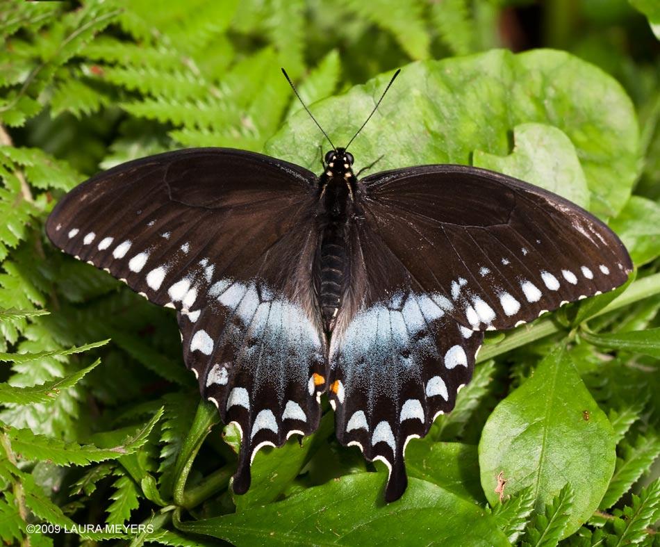 Butterfly_Zebra_Swallowtail_male