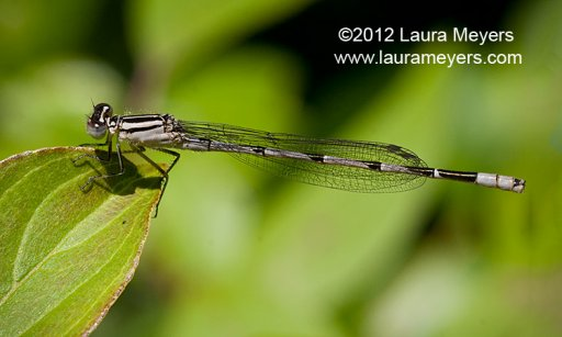 Familiar Bluet Damselfly female