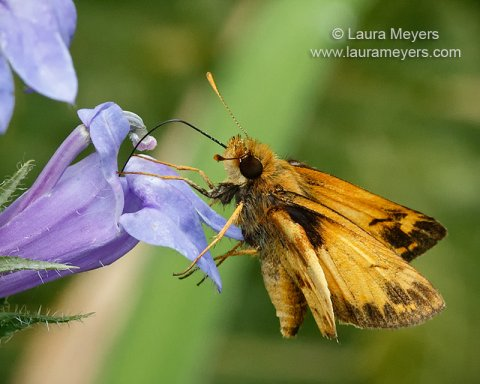 zabulon_skipper_male_cp_4728
