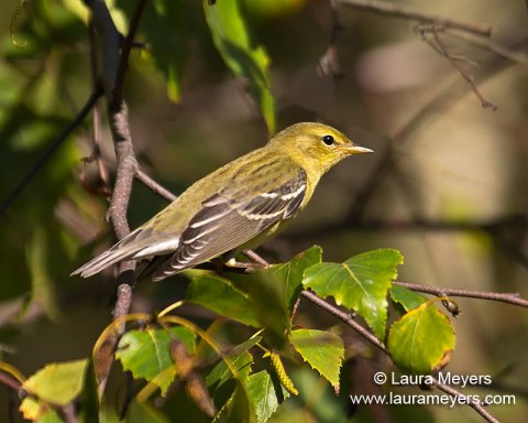 Blackpoll Warbler Fall Plumage