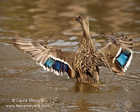 Female Mallard Duck with Wings Open
