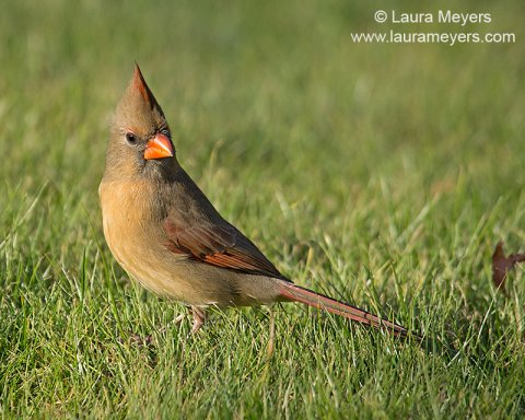 Northern Cardinal Female in Grass