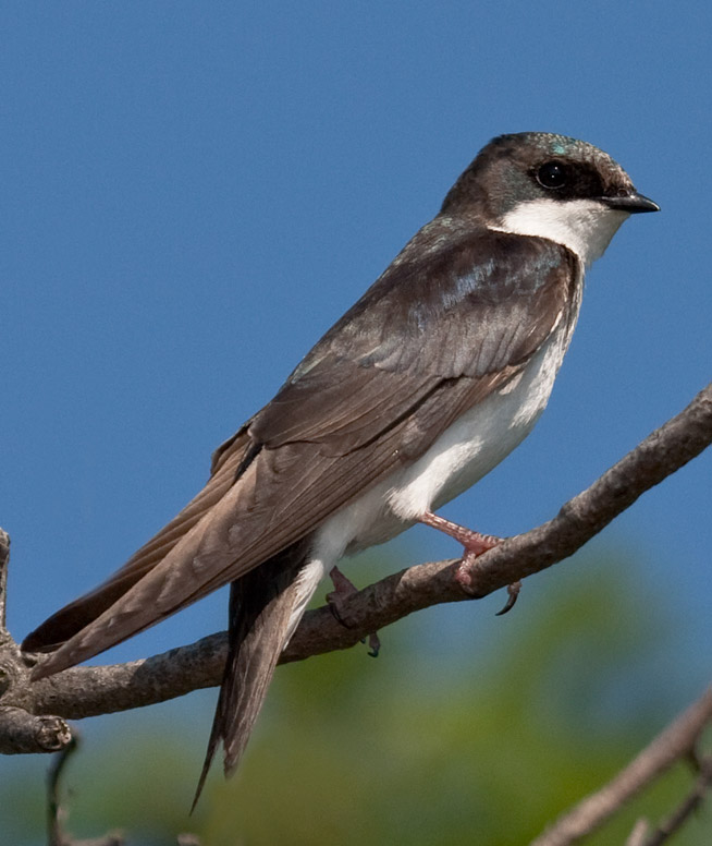 Tree Swallow Juvenile