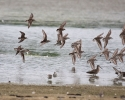ShorebirdsinFlight