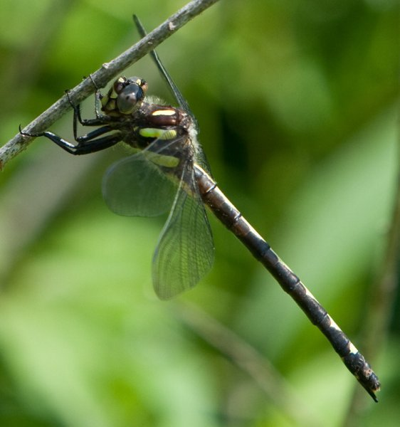 Spiketail Dragonfly
