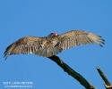 Turkey Vulture wings spread