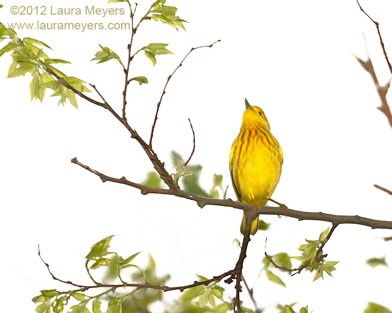 Yellow Warbler Singing
