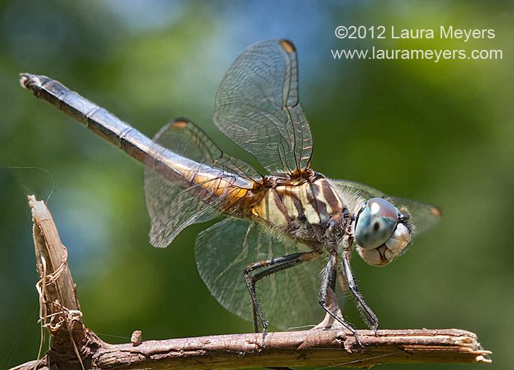 Blue Dash Dragonfly