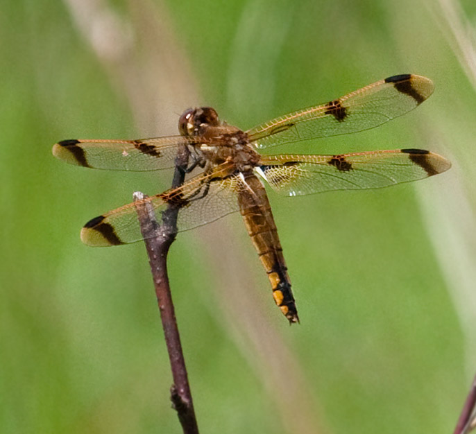 Painted Skimmer Dragonfly
