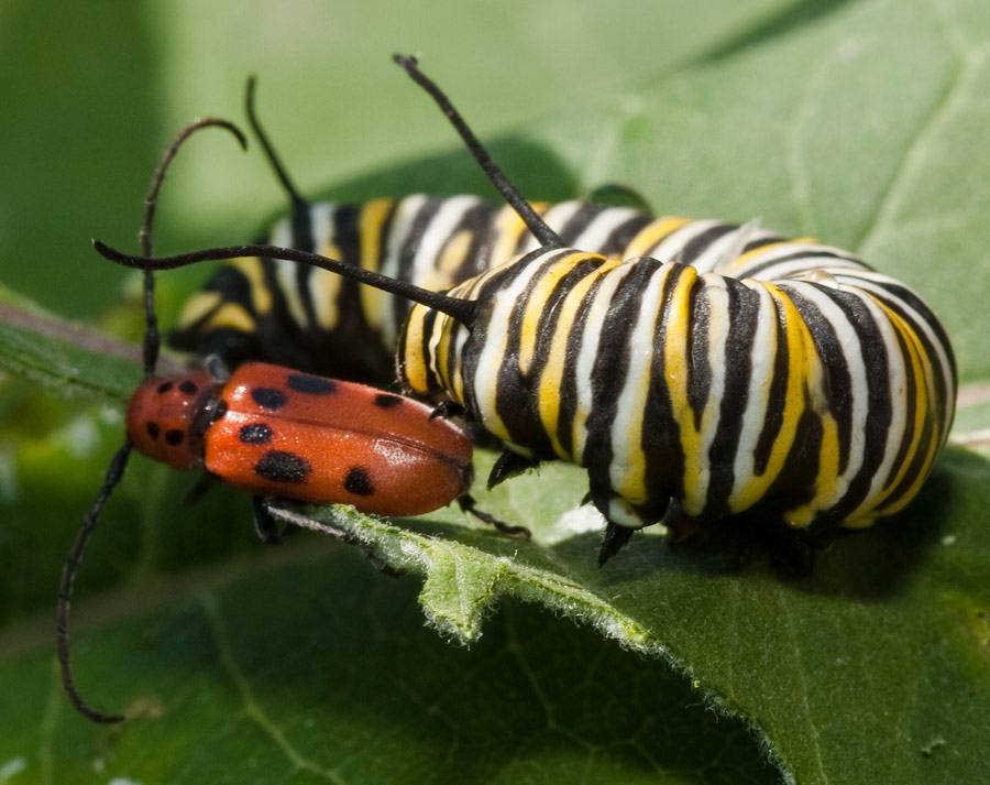 Monarch Butterfly Caterpillar and Red Milkweed Beetle