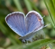 Eastern-tailed Blue Butterfly