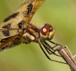 Halloween Pennant Dragonfly Closeup