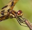 Halloween Pennant Dragonfly Closeup