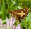 Mulberry Wing Skipper