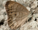 Pearly-Eye Butterfly