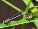 Variable Dancers Damselflies Male and Female