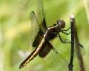 Widow Skimmer Dragonlfy female