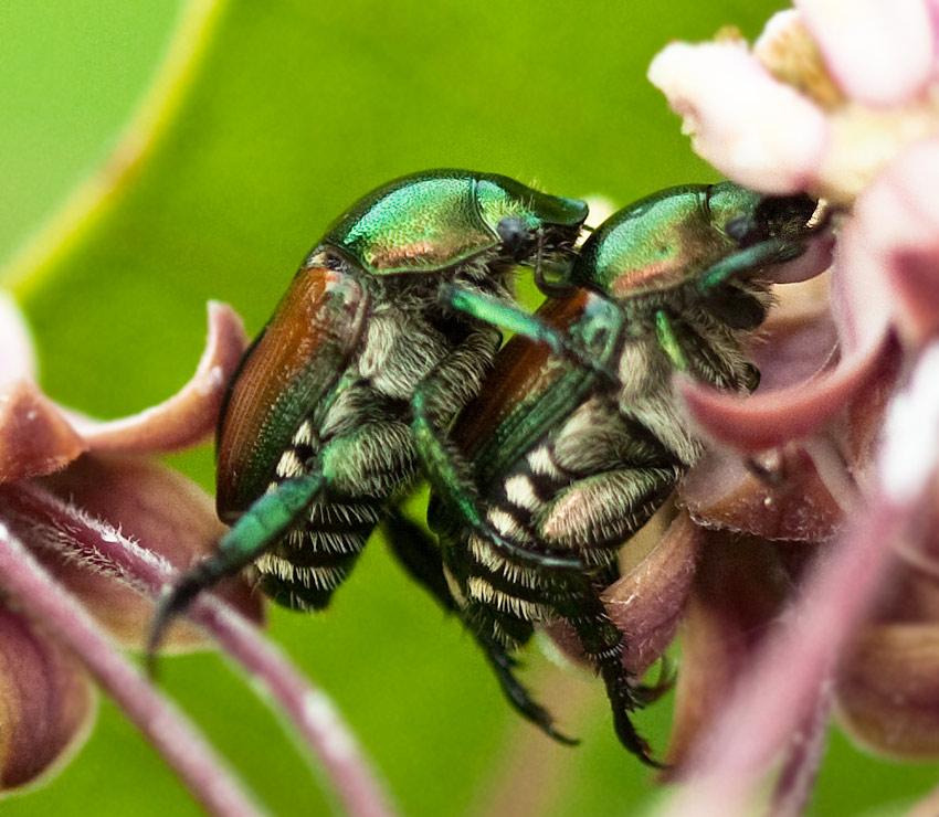 Two Japanese Beetles