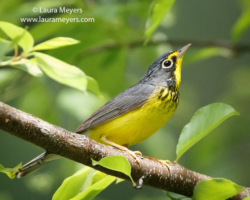 Canada Warbler Male