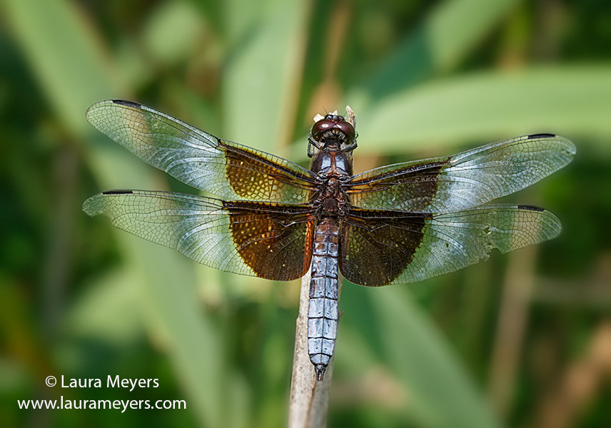 Widow Skimmer Dragonfly  Male