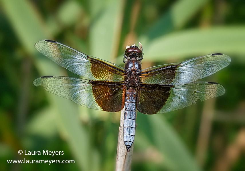 Widow Skimmer Dragonfly  Male