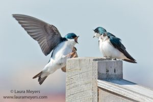 Tree Swallows On Box Image